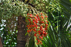 Red and green fruits of palm on the tree Royalty Free Stock Photography