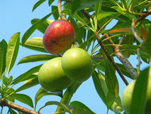 Red and Green Fruits of Pong-Pong Tree with Bunch of Green Leaves Stock Photo