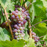 Red and green grapes in vineyard Royalty Free Stock Photos