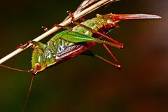 Red and Green Grasshopper Royalty Free Stock Images