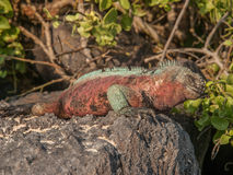 Red and Green Iguana. Sunbathing on black lava rock amongst green foliage in Galapagos Islands Ecuador stock image