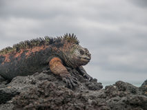 Red and Green Iguana. Sunbathing on black lava rock in Galapagos Islands Ecuador stock images
