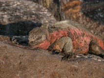 Red and Green Iguana. Sunbathing on black lava rock in Galapagos Islands Ecuador royalty free stock images