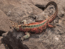 Red and Green Iguana. Sunbathing on black lava rock in Galapagos Islands Ecuador stock image