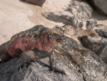 Red and Green Iguana. Sunbathing on black lava rock in Galapagos Islands Ecuador stock photography