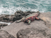 Red and Green Iguana Stock Photos