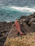 Red and Green Iguana Stock Photography