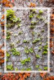 Red and green ivy leaves in a white rectangular frame on a gray concrete wall in autumn, background photo royalty free stock images