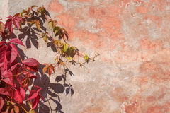 Red and green Ivy on pink wall Stock Photo