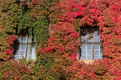 Red and green ivy surround windows on castle Royalty Free Stock Image