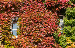 Red and green ivy surround windows on cottage Royalty Free Stock Images