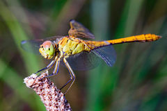 Red and green large Dragonfly. Red and Green Dragonfly great. Type side. Close-up Stock Photography