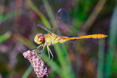 Red and green large Dragonfly Royalty Free Stock Photo