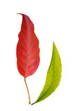 Red and green leaf Royalty Free Stock Image