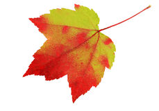 Red and green leaf Stock Photography