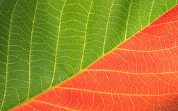 Red and green leaf Royalty Free Stock Images