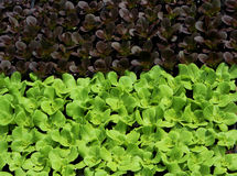 Red and green leaf lettuce. Seedlings Stock Images