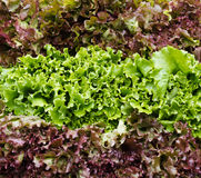 Red and green leaf lettuce on display Stock Photo