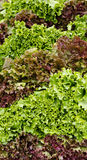 Red and green leaf lettuce on display Stock Images