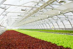 Industrial cultivation of lettuce Royalty Free Stock Photo