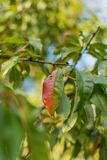 Red and green leaf of a peach tree on a bright sunny day stock photo