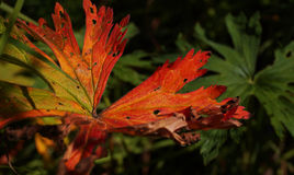 Red and green leaf. Shot in Russia Kostroma fall and summer 2015 Stock Photos