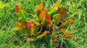 Red and Green Leaf Texas Weed. Wild Texas weed with broad green and red leafs stock photos