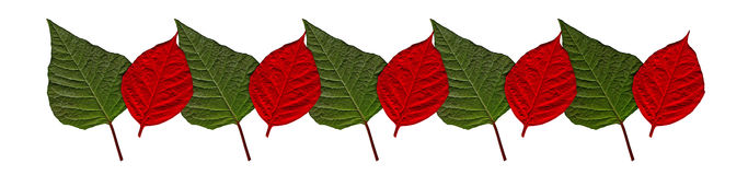 Red and green leafs of a Christmas flower Royalty Free Stock Images