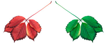 Red and green leafs Stock Photo