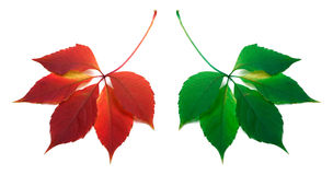 Red and green leafs Royalty Free Stock Photography