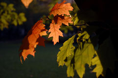 Red And Green Leaves. In different states of transition in autumn royalty free stock photography