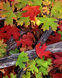 Red & Green Leaves Royalty Free Stock Photography