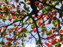 Red and green leaves against the sky Royalty Free Stock Photos