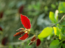 Red and green leaves in April Royalty Free Stock Image