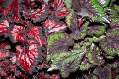 Red and green leaves, background.  royalty free stock photos