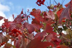 Red and green leaves with red berries Stock Photo