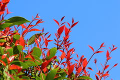 Red and green leaves. With blue sky Royalty Free Stock Images