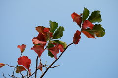 Red and Green leaves with bluesky background. Colorful leaves on blue sky wallpaper Royalty Free Stock Images