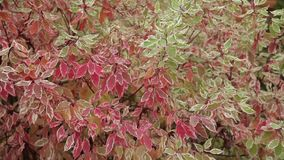 Red and green leaves. Close up. Dynamic change of focus stock video footage