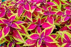 Red and green leaves of the coleus plant, Plectranthus scutellarioides stock photos