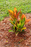 Red and green leaves of croton varieties Stock Image