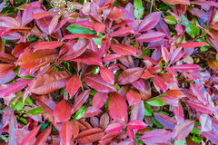 Red and green leaves of  photinia Stock Image