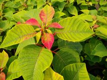 Red and green leaves. Stock Image