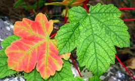 Red and green leaves. Red and green maple leaves close up stock photography