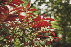 Red and green leaves of tropical plants after rain. The sun`s glare. Morning light and coolness. Red and green leaves of tropical plants. The sun`s glare Stock Photos
