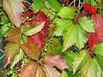 Red-green leaves of wild grape Stock Images