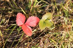 Red and green leaves of wild strawberries in the autumn grass. stock photos