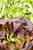 Red and green lettuce Stock Photos