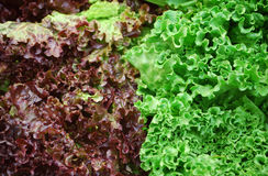 Red and green lettuce Royalty Free Stock Photos
