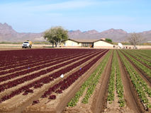Red and green lettuce crop. Growing in field in Arizona Stock Image